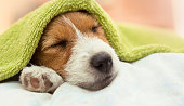 Dog grooming - cute Jack Russell puppy dog sleeping after bath