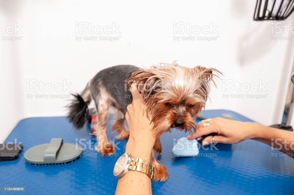 Dog grooming, Little wet cute and beautiful purebred Yorkshire...