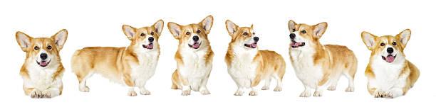 dog group looks on a white background - welsh corgi pembroke stock-fotos und bilder