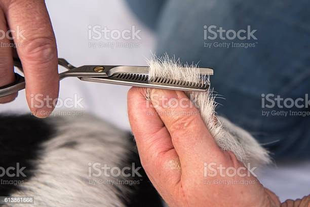 Dog hair cutting with the thinning scissors grooming picture id613861666?b=1&k=6&m=613861666&s=612x612&h=oonfgsahcws58e7kzgfblhgtemdwvrmtzwpvrox0n1s=