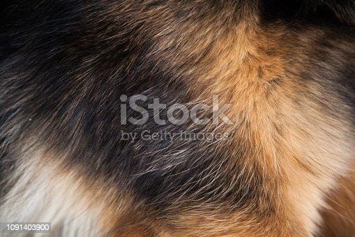 hair of a German shepherd