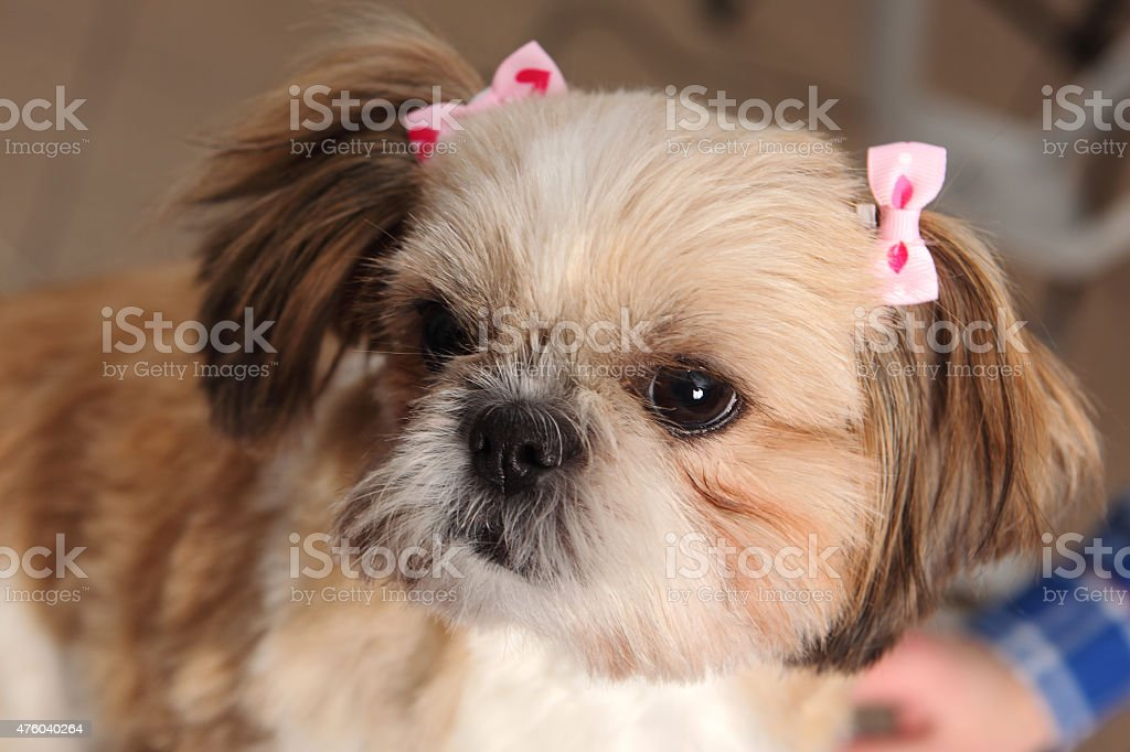 dog hairdresser, hairstyle, spa for dogs stock photo