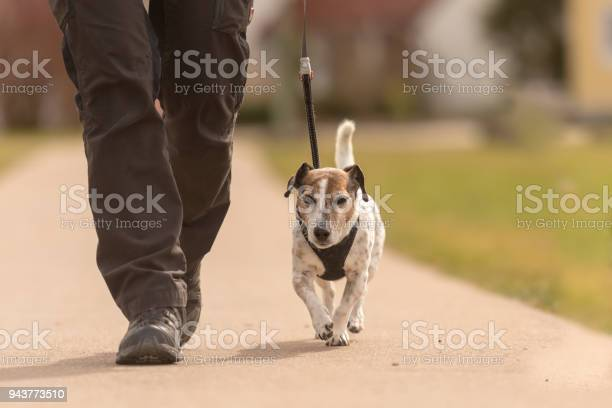 Dog handler walks with her little dog on a road cute jack russell picture id943773510?b=1&k=6&m=943773510&s=612x612&h=fspx9g0s0j1bcaqqiahiy3zgfvuffurlm8i6 8 xq8w=