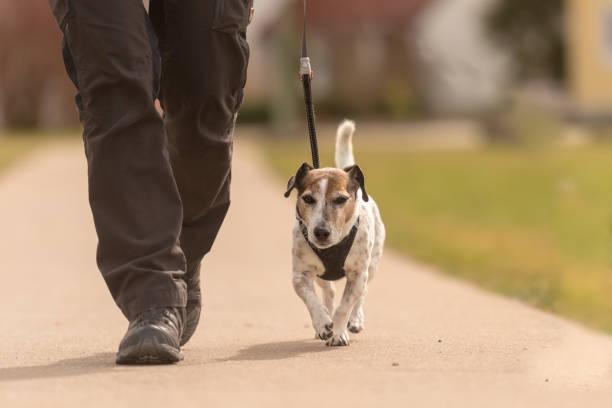 Dog handler walks with her little dog on a road cute jack russell picture id943773510?b=1&k=6&m=943773510&s=612x612&w=0&h=oaniyywwin0kvgxevq0zadau1nc4ttzeukvmz9xcnte=