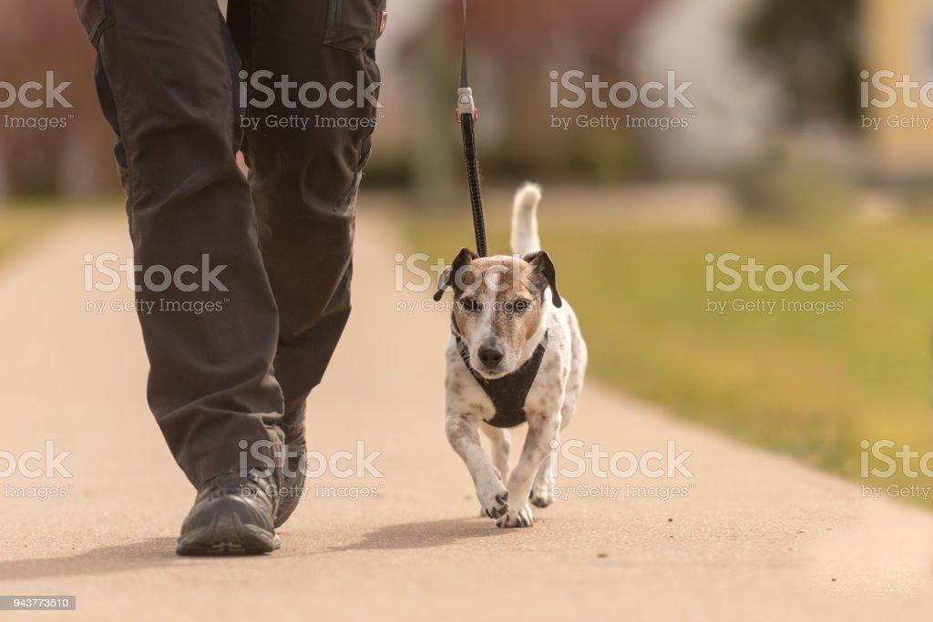 Hundeführer geht mit ihrem kleinen Hund unterwegs - süße Jack Russell Terrier doggy – Foto