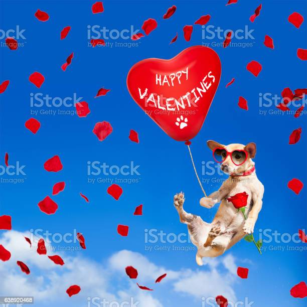 Dog hanging on balloon in air for valentines day picture id638920468?b=1&k=6&m=638920468&s=612x612&h=f2e9daydit0mdhddh1i8msvlof 2isfperd9byya6bg=