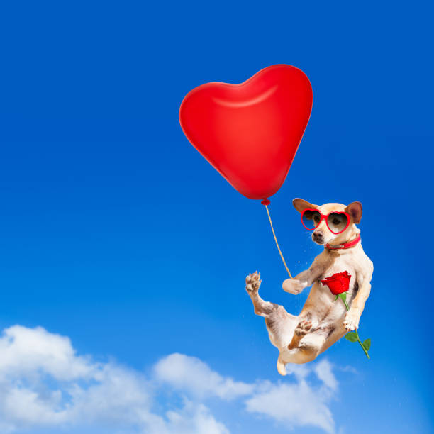 Dog hanging on balloon in air for valentines day picture id638920532?b=1&k=6&m=638920532&s=612x612&w=0&h=qivxblvlnrnfyastvyuulmxchggvfouvsvfuog80gj8=