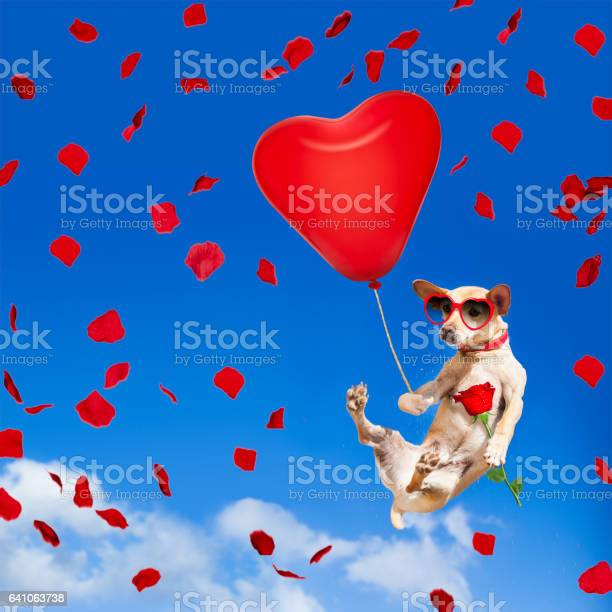 Dog hanging on balloon in air for valentines day picture id641063738?b=1&k=6&m=641063738&s=612x612&h=zviitmieqhjnm6q fnpfckbelmqfg2mdhkcr713xl2u=