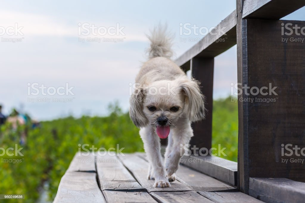 Dog happy when vacation travel at wooden bridge stock photo