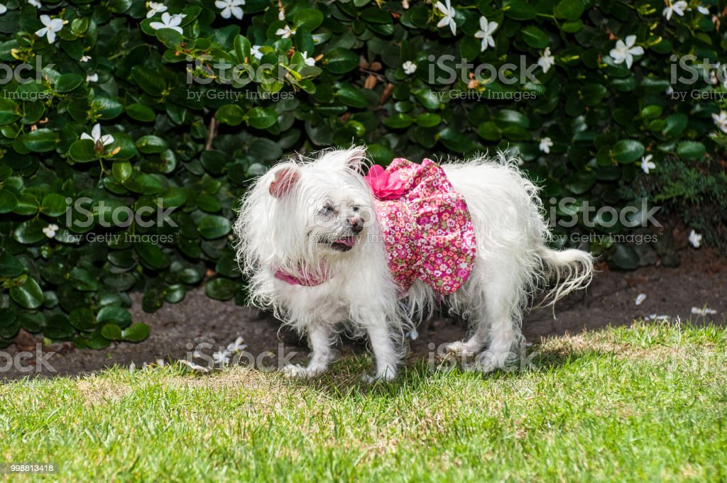 Dog harness doubles as clothing. stock photo