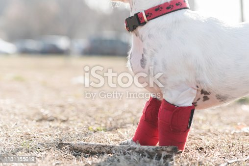 istock Dog has a problem with front legs 1131155619