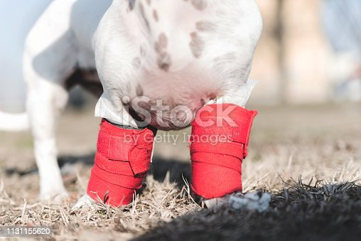 istock Dog has a problem with front legs 1131155620