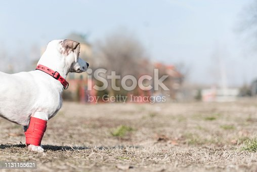 istock Dog has a problem with front legs 1131155621