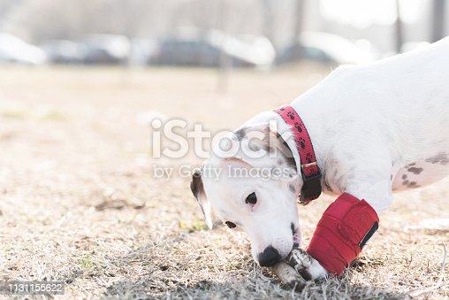 istock Dog has a problem with front legs 1131155622