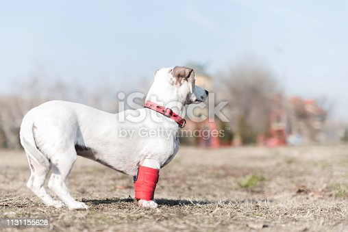 istock Dog has a problem with front legs 1131155628