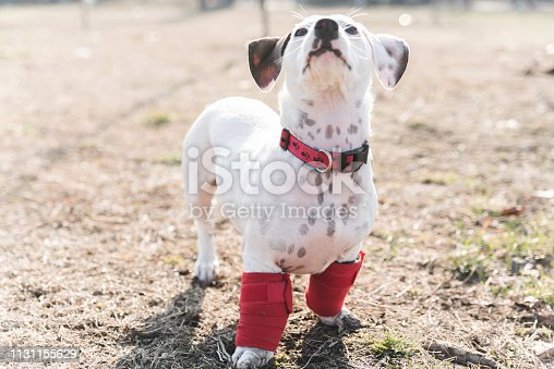 istock Dog has a problem with front legs 1131155629