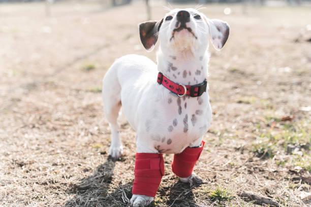 O cão tem um problema com as pernas dianteiras - foto de acervo