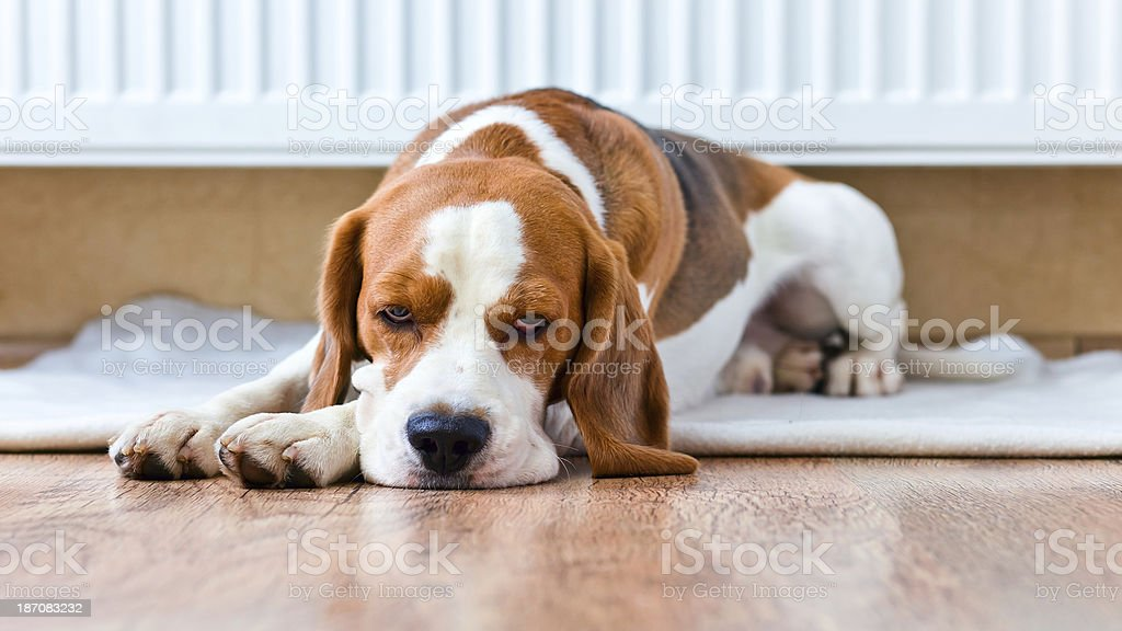 dog has a rest  near to  warm radiator - Royalty-free Animal Stock Photo