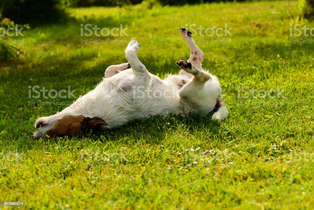 Dog has relaxation time lying down on green grass at shadow stock photo