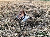 istock A dog has sunk in the straw and is still looking out with its head 1336607082