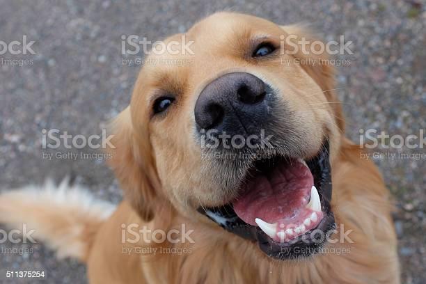 Dog having a big smile picture id511375254?b=1&k=6&m=511375254&s=612x612&h=ndsdpki2as7jjozl01j0ti2j9xxyjpwhvz2vvmbldmm=