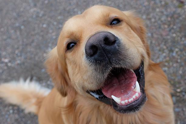 pies (złoty do odzyskiwania) posiadające duży uśmiech. - golden retriever zdjęcia i obrazy z banku zdjęć