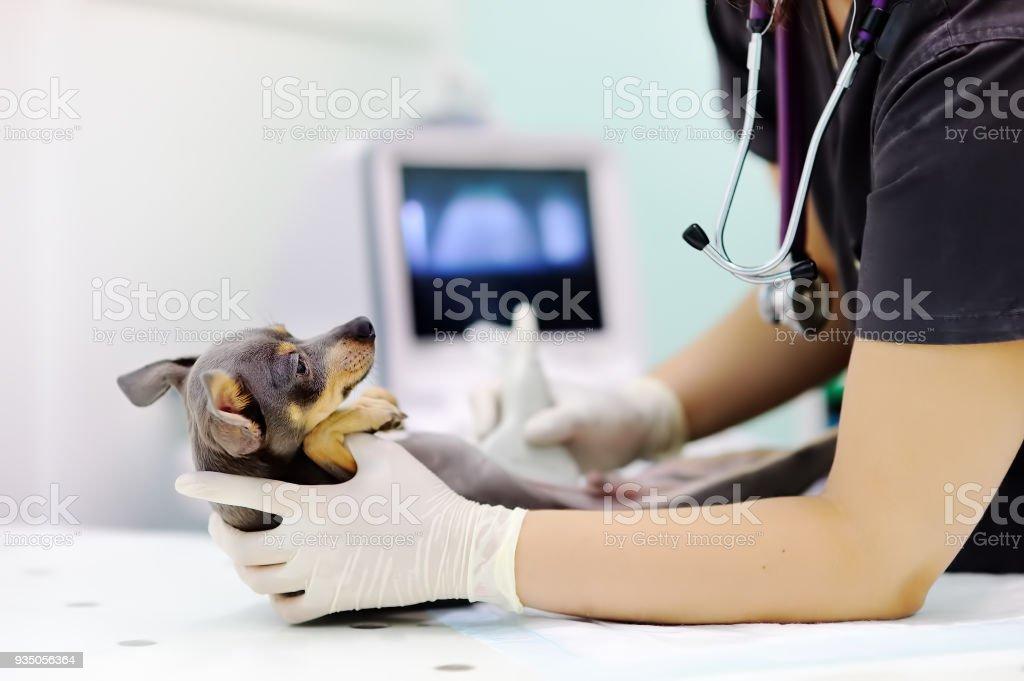Perro con ultrasonido scan en oficina del veterinario - foto de stock