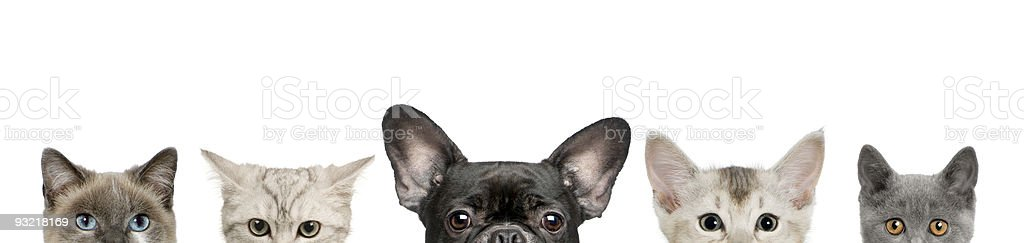 Dog head and cat heads in front of white background stock photo