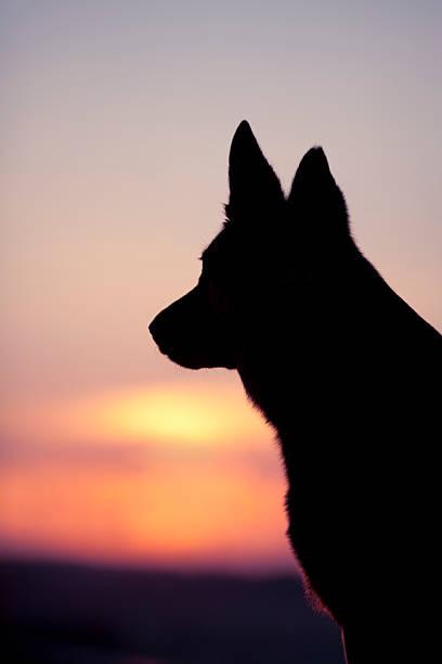 hund kopf-hintergrundbeleuchtung silhouette bei sonnenuntergang - trauer abschied tod stock-fotos und bilder