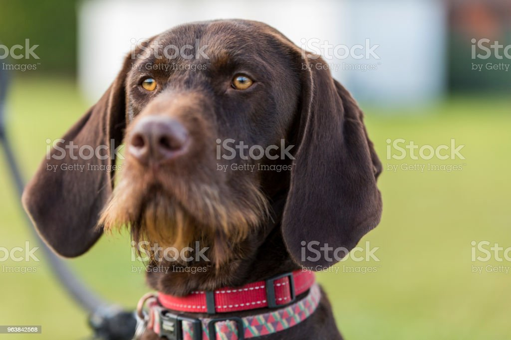 Dog head close up, Labrador retriever sitting tight in a rugby field. - Royalty-free Animal Stock Photo