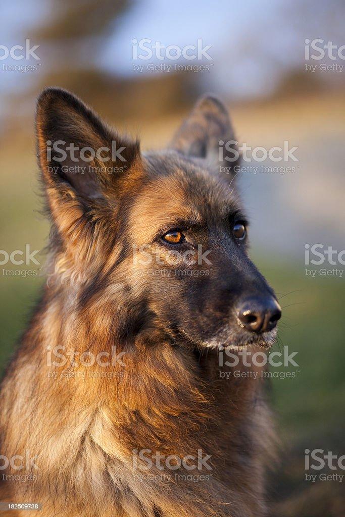 Dog head royalty-free stock photo