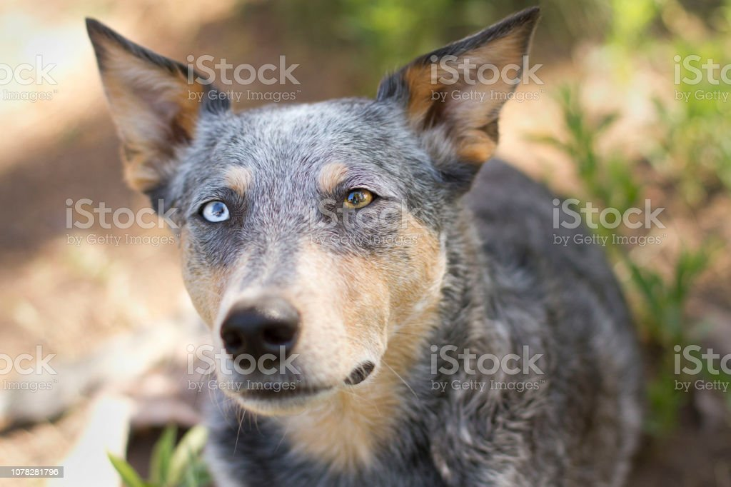 Dog Headshot on dirt and grass stock photo
