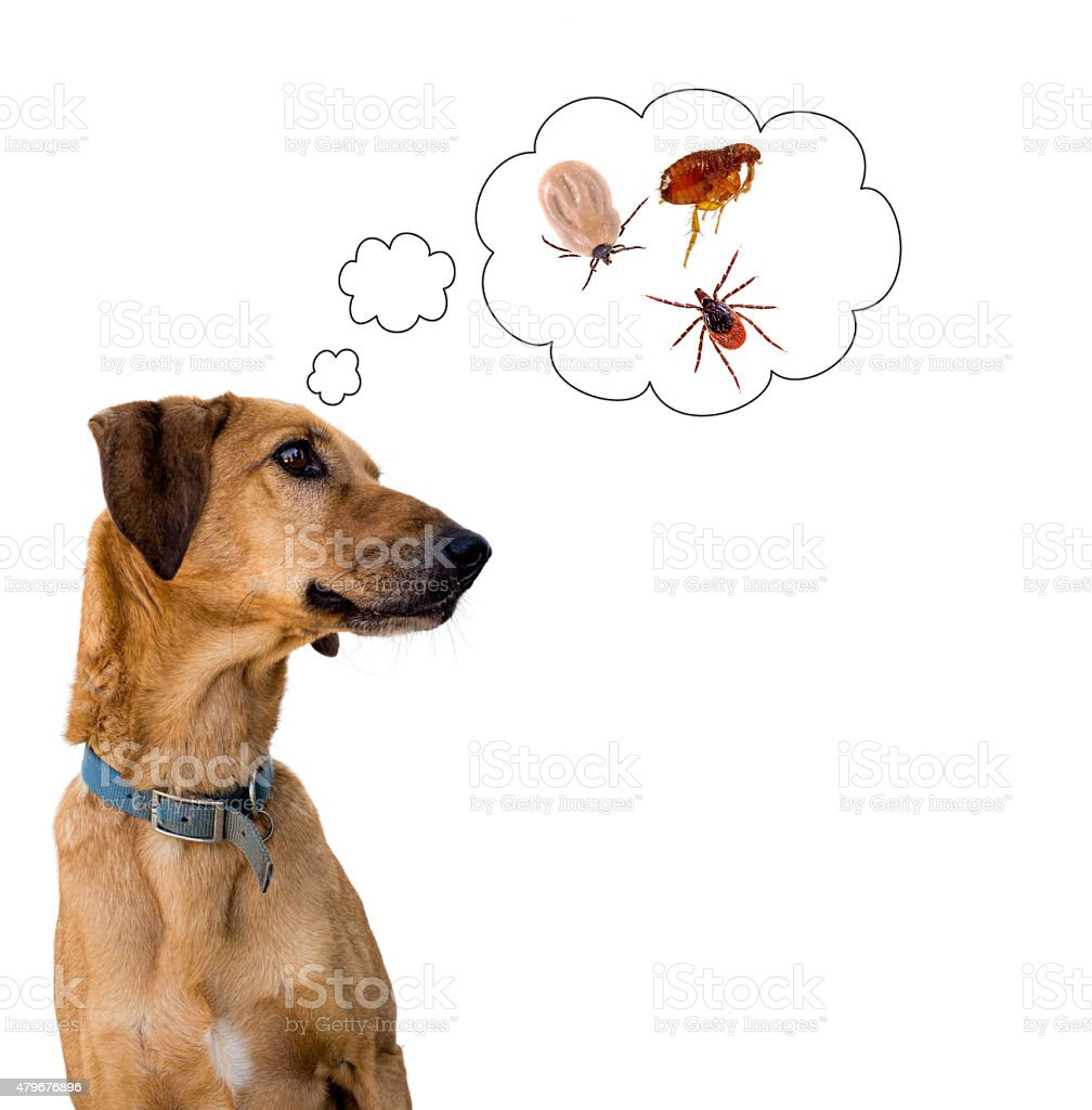 Dog health risk, ticks and flea. Disease carrier, protection. - Royalty-free 2015 Stock Photo