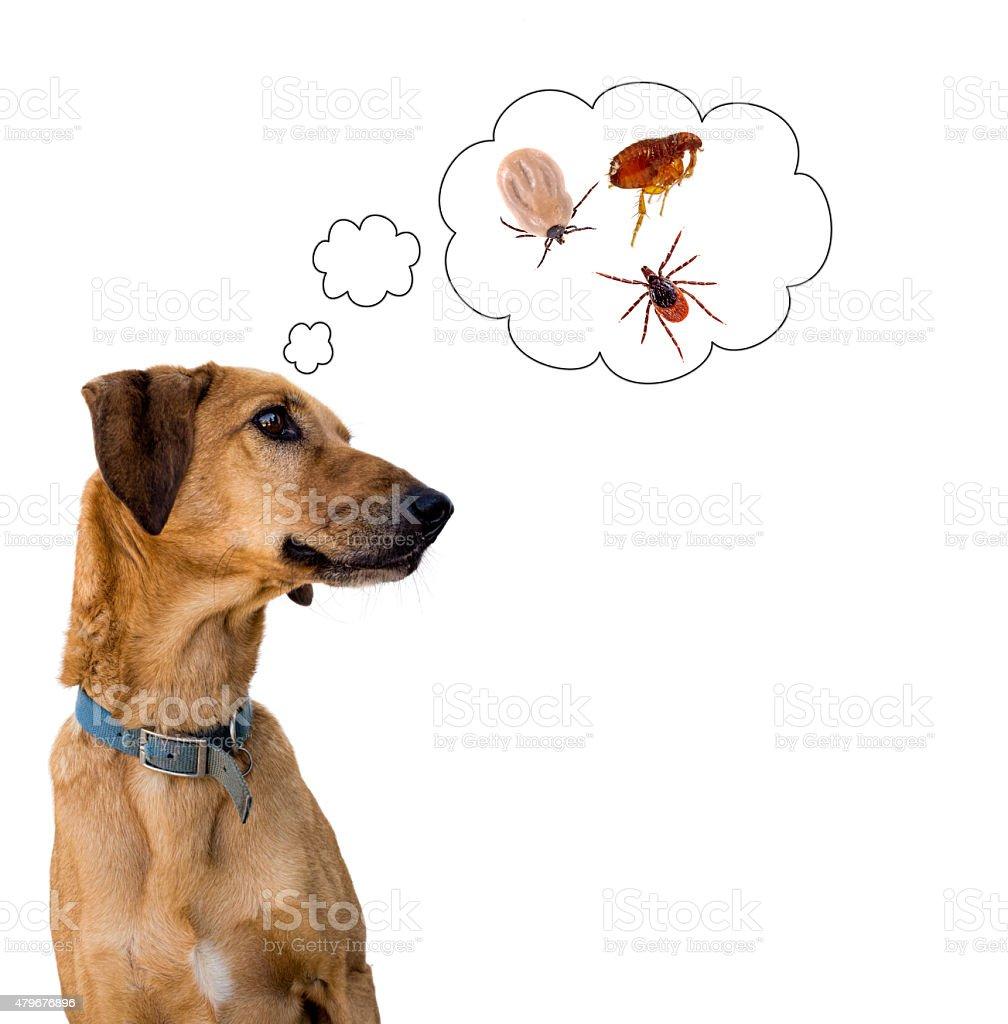 Dog health risk, ticks and flea. Disease carrier, protection. stock photo