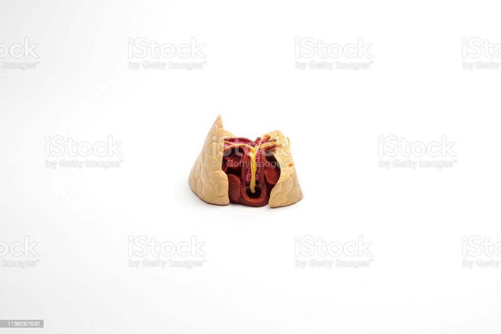 Dog heart model on white background stock photo