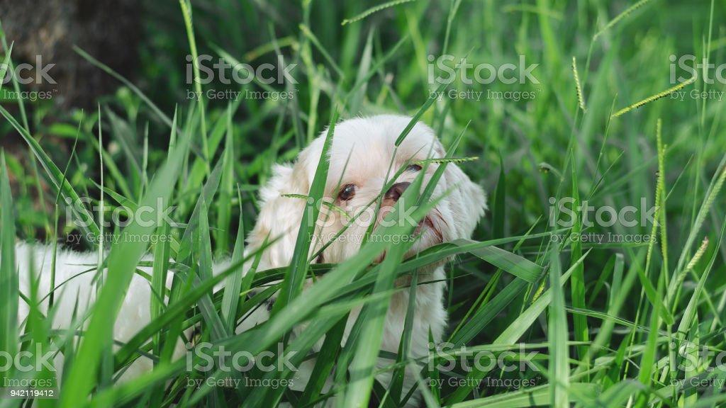 Cão se escondendo atrás da grama. - foto de acervo