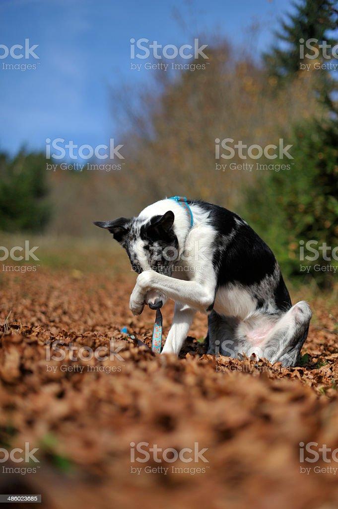 Perro s'esconde su rostro con la pata - foto de stock