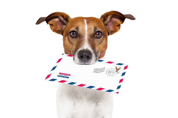 dog holding a mail letter to the owner fast delivery - mail stock photos and pictures