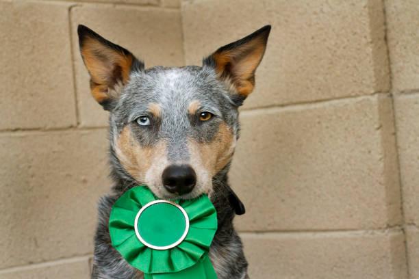 Dog Holding Award Ribbon stock photo