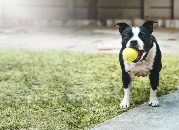 Dog holding ball waits for owner to play fetch picture id915157620?b=1&k=6&m=915157620&s=612x612&w=0&h=bxcpgqc4z38hk9tbzmsfegen8agtzu373s cau trmk=