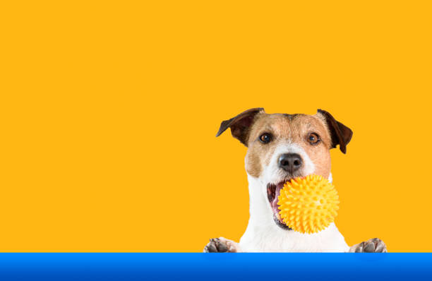Dog holding doggy toy ball in mouth with bright background picture id1226038145?b=1&k=6&m=1226038145&s=612x612&w=0&h=nroui wdltgesl2zofd2e6psfecfqugnhgwbmxhnwfa=