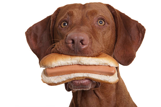 dog holding food in mouth stock photo