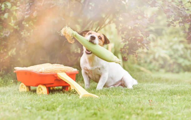Dog holding in mouth fresh corn as harvest festival and thanksgiving concept Jack Russell Terrier with crop of fresh corn thanksgiving pets stock pictures, royalty-free photos & images