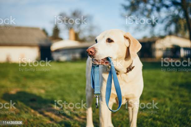Dog holding leash in mouth picture id1144355306?b=1&k=6&m=1144355306&s=612x612&h=pefhfpf0gxl3vsfrvpjy3lttdeqpzbwcx3jaefuodm4=