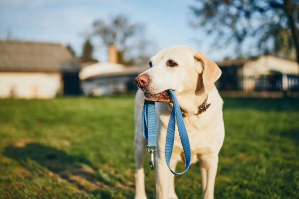 Dog holding leash in mouth picture id1144355306?b=1&k=6&m=1144355306&s=612x612&w=0&h=5idna63facx9rasvfx5opc4bp4jcbt vnb8ilh6csew=