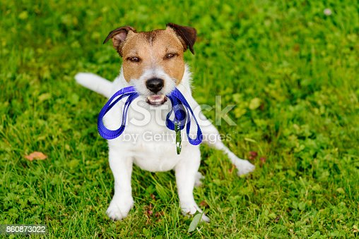 istock Dog holding leash in mouth waiting for walk 860873022