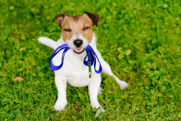 dog holding leash in mouth waiting for walk - training imagens e fotografias de stock