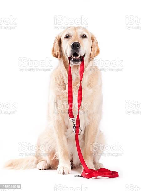Dog holding leash picture id165091048?b=1&k=6&m=165091048&s=612x612&h=q2rsegvwp9vcoelxuh22gqm6d8yonycx5bjtwjh8wx4=