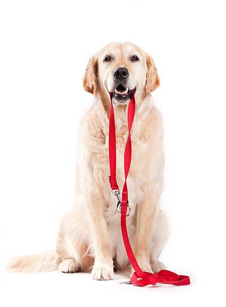 Dog holding leash picture id165091048?b=1&k=6&m=165091048&s=612x612&w=0&h=h g9hzl9kbt1boutj uraply3zi7udwddgl5dq bvqe=