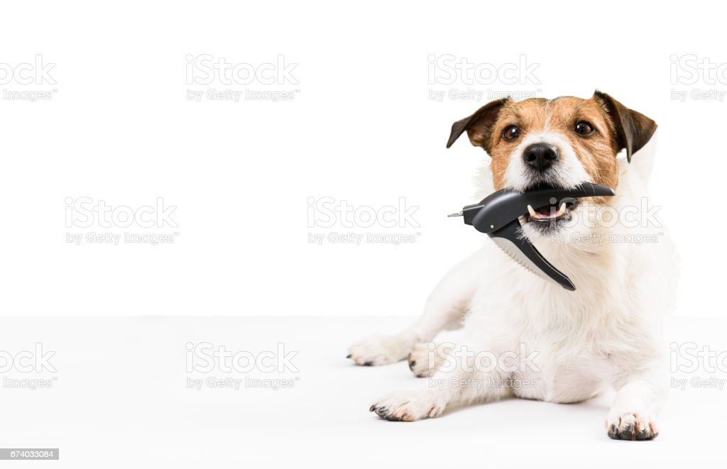 Dog holding nail clipper in mouth needs nails trimming stock photo